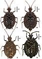 Cervinotaptera species (10.3897-zookeys.796.24540) Figure 1.jpg