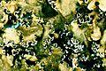 Cetrelia cetrarioides.jpg