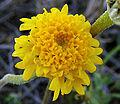 Chaenactisglabriuscula.jpg