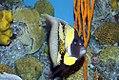 Chaetodon lunula 16zz.jpg