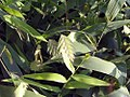 Chasmanthium latifolium 2zz.jpg
