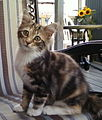 Chat-Calico-Lilly-2009-06-25-IB.jpg