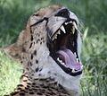 Cheetah (4192646039).jpg