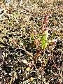 Chenopodium chenopodioides sl1.jpg