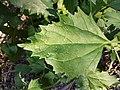 Chenopodium murale sl69.jpg