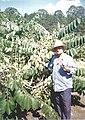 Cherimoya fruit grower.jpg