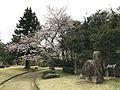 Cherry blossoms in Kameyama Park 3.jpg