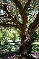 Cherry tree blossom City of London Cemetery 1.jpg
