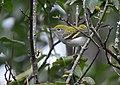 Chestnut-sided Warbler (30372510838).jpg