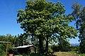 Chestnut tree Tribil di Sopra Province of Udine, Italy.jpg