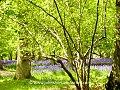 Chilterns Beechwood (16844448498).jpg