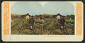 Chinamen harvesting rice, Hawaii, from Robert N. Dennis collection of stereoscopic views 2.png