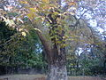 Chinar oriental plane tree.jpg