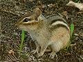 Chipmunk (508121818).jpg