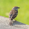 Chipping sparrow in GWC (42637).jpg