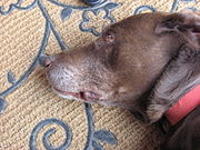 Many dogs, including Labs such as this ten year old, show distinct whitening of the coat as they grow older; especially around the muzzle.