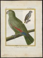 Chrysotis farinosa - 1700-1880 - Print - Iconographia Zoologica - Special Collections University of Amsterdam - UBA01 IZ18600097.tif
