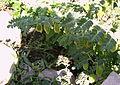 Cigronera castellana.JPG