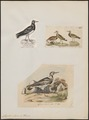 Cinclus interpres - 1700-1880 - Print - Iconographia Zoologica - Special Collections University of Amsterdam - UBA01 IZ17300031.tif