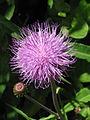 Cirsium heterophyllum003.jpg