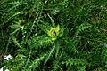 Cirsium spinosissimum r1.JPG