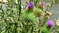 Cirsium vulgare flower.jpg