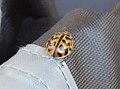 Cleobora mellyi (37805804242).jpg