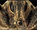 Cleonis pigra face.JPG