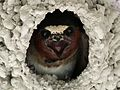 Cliff Swallow - Flickr - GregTheBusker.jpg