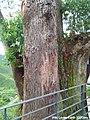 Close-up look on thick tree at BOH Sungei Palas Tea Plantation, Cameron Highlands.jpg