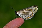 Close wing position of Acraea issoria Hübner, 1818 – Yellow Coster WLB DSC 3877.jpg