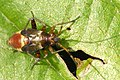 Closterotomus.fulvomaculatus4.-.lindsey.jpg