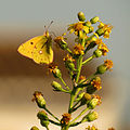 Clouded Yellow (15747034498).jpg