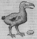 Clusius dodo.jpg