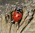 Coccinella septempunctata (7-spot ladybird) greeting the new sun - Flickr - S. Rae.jpg