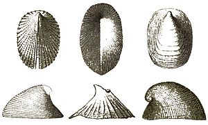 Cocculinidae - Shells of various Cocculinidae species