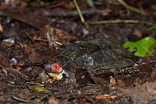 Cane turtle species of reptile