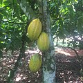 Cocoa 002.jpg