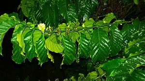 Robusta coffee - Robusta coffee flowers