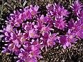Colchicum cilicicum 001.jpg