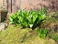 Colchicum speciosum (leaves).jpg