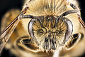 Colletes inaequalis face.jpg