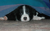 Six-week old Border Collie