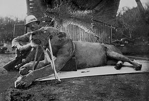 John Henry Patterson (author) - Colonel Patterson with the first Tsavo lion – killed 9 December 1898