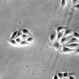 Madin-Darby Canine Kidney cells