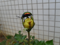 Colorful beetle from Brasília, Brazil in a yellow rose 3.png