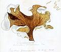 Coloured Figures of English Fungi or Mushrooms - t. 403a.jpg