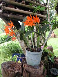 Inflorescencias y aspecto vegetativo general[editar]