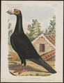 Columba livia - 1881-1889 - Print - Iconographia Zoologica - Special Collections University of Amsterdam - UBA01 IZ18900139.tif