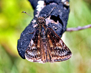 <i>Erynnis lucilius</i> species of insect